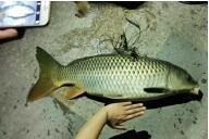 """衢州信安湖里有人钓起一条""""鲤鱼王"""" 身长1米"""