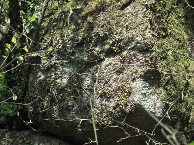 宁波四明山首次发现珍稀兰科植物:中华盆距兰