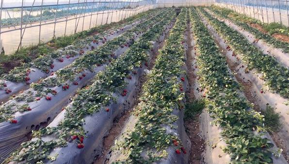 红又大的草莓烂在地里 舟山种植户急得睡不着觉