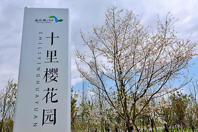 春光相聚樱花相会 温州瓯江口首届樱花节盛大开幕