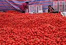 """>""""苍南6万吨番茄滞销"""