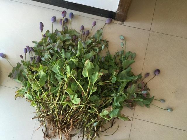 女性在己个男楼顶栽种罂粟 条因放进汤里很美味
