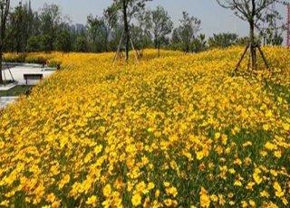 惊艳!杭州2万平米的花海已绽放