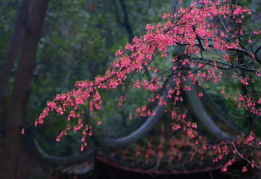 景区的樱花偷偷美成了屏保!走,赏它!