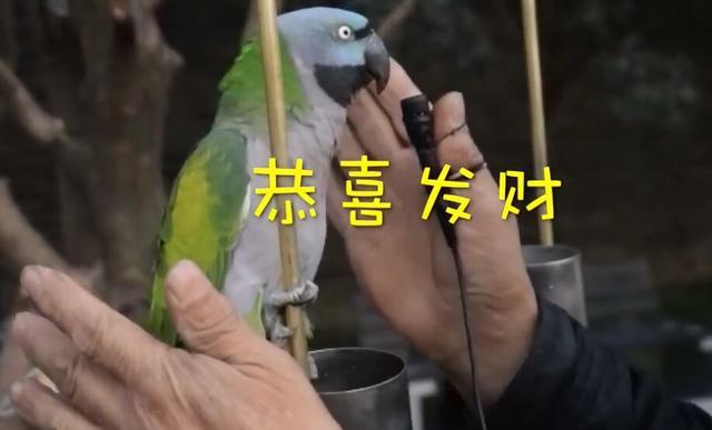 37岁鹦鹉会讲英语 相亲过一千多次仍然单身
