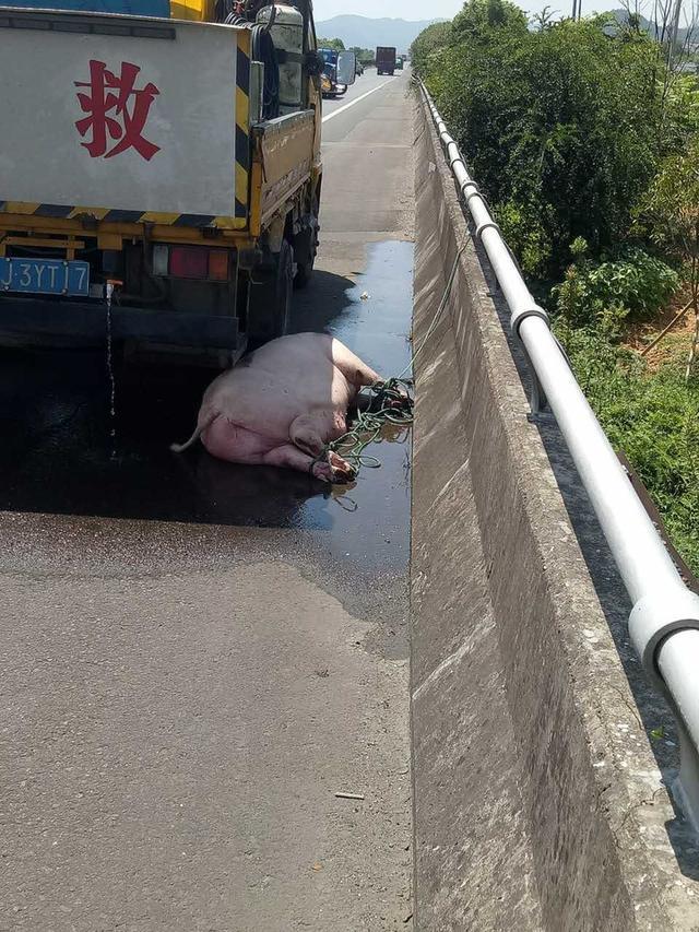 """台州高速现""""二师兄""""溜达 车主被吓出一身冷汗"""