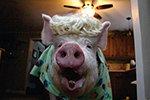 迷你宠物猪长成大肥猪