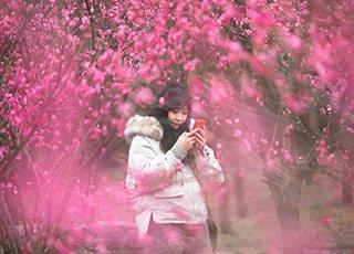 新春佳节至 梅花正当红