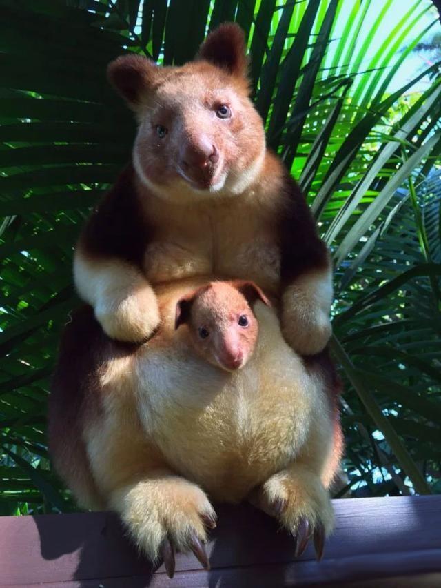 濒临绝种的树袋鼠 36年来终于诞生第一只宝宝