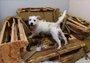 最淘气的狗狗 3小时咬烂价值2000英镑的沙发