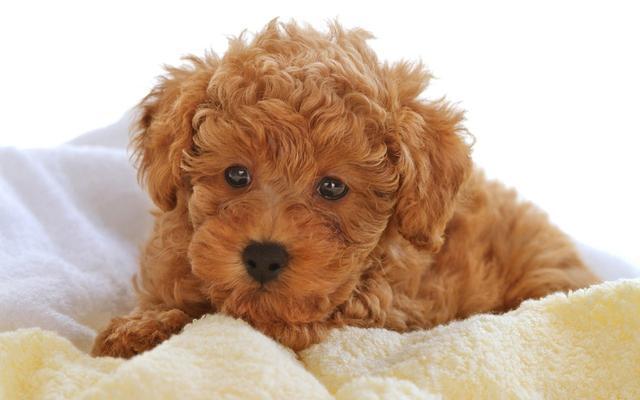 小型犬易发的5大健康问题 喜欢小型犬的必看!