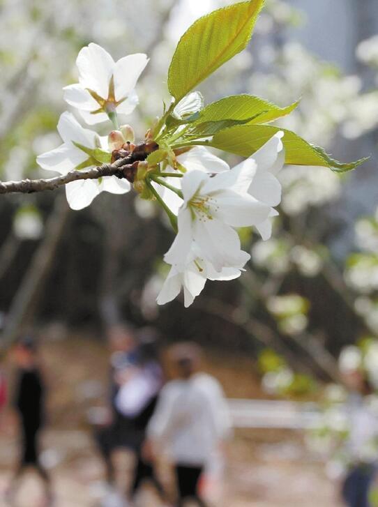 金华樱花公园本周末临时开放两天 错过要等明年