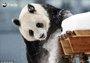 旅居芬兰大熊猫平安度过隔离免疫期