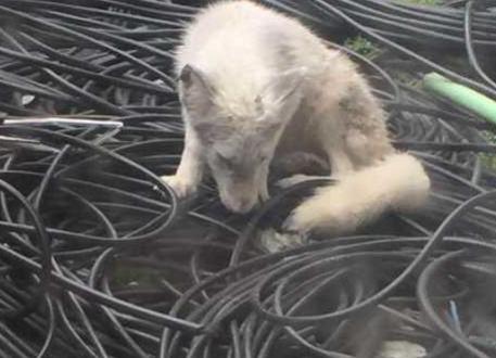 你没看错!杭州闹市区某写字楼闯进一只白狐
