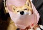 柴犬被包成花束用来表白 女网友们都不淡定了