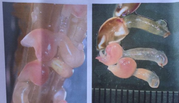 蟹鳃上的粉色虫子吓煞食客 专家:是海洋附生生物