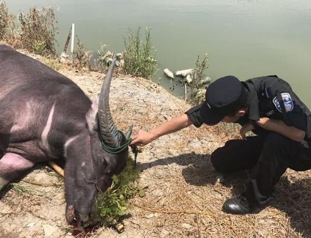 绍兴民警击毙发疯公牛