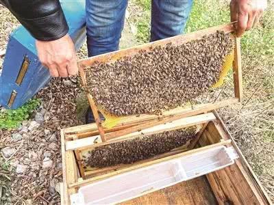 37箱蜜蜂竟然失踪了