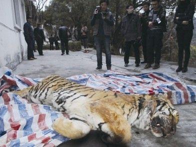 """""""目前我市动物园有一母两公共三只东北虎,另外还有一只孟加拉虎,但"""