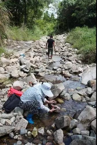 温州一溪滩发现一种黑石头 引来众人挖宝
