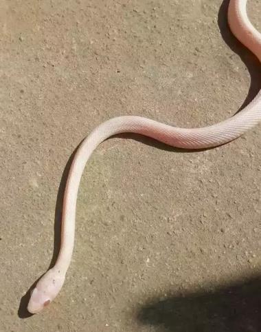 台州男子厨房里发现粉色蛇 怕其冻死先收留下来
