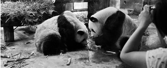 网红大熊猫来杭 首个周末圈粉无数