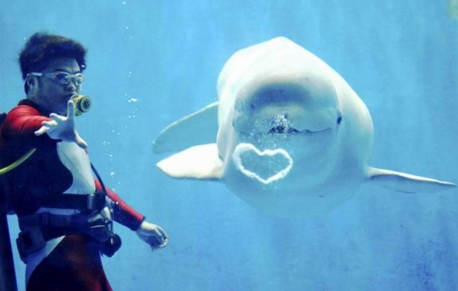 鲸鱼的资料300字_研究人员首次公开酷似人类声音的白鲸录音