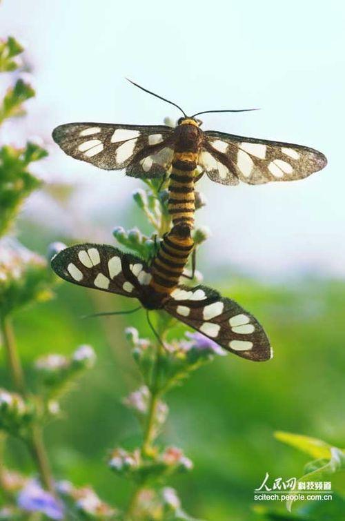 老师小嫩穴_昆虫成虫 鳞翅目昆虫分子模式系统 蛔虫的成虫引起哪些疾病