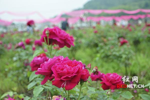 为带动村民致富,邵阳农民李南新建千亩观光玫瑰园产业。玫瑰园每到四五月份,园内十分热闹,游人络绎不绝。
