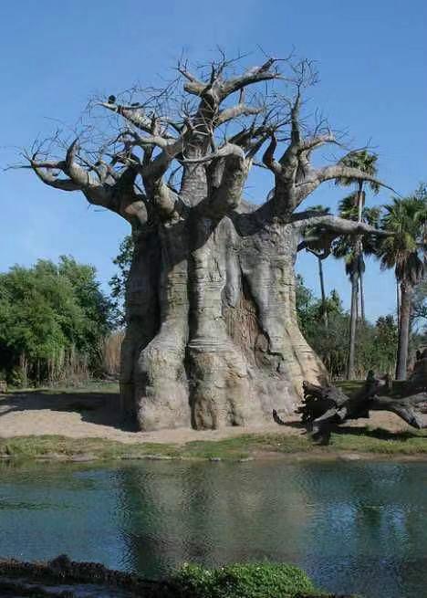 非洲猴面包树果实怎么吃好吃?多少棵猴面包树能养活一家人?