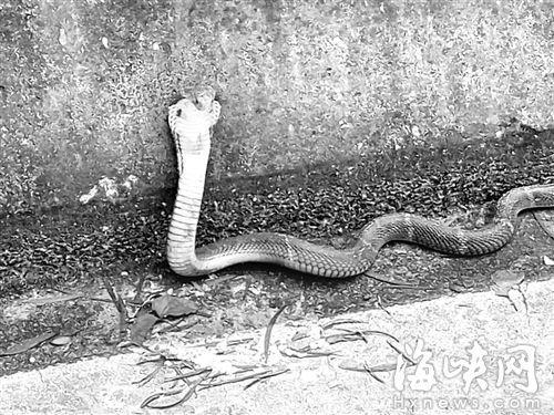 福州一�h道�F5�l被放生毒蛇 距小�W�H500米(�D)