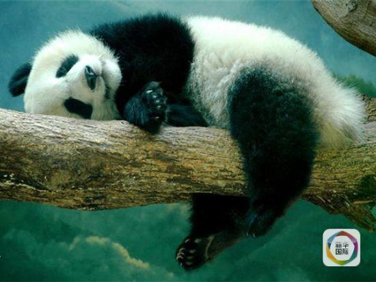 大的样子_新华社揭秘大熊猫有多懒:超乎你想象_新闻_腾讯网
