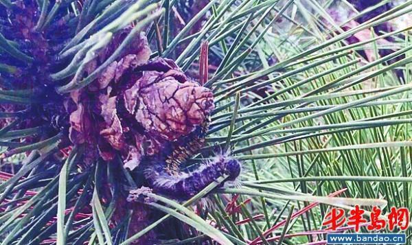 黄岛历史天气_松树林爬满毛毛虫 专家:为赤松毛虫并可食用_新闻_腾讯网