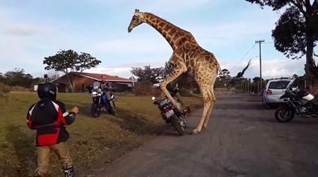长颈鹿对摩托车一见钟情 企图与其发生性关系
