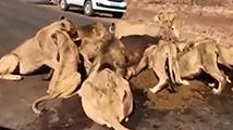 群狮马路上猎捕水牛造成大堵车