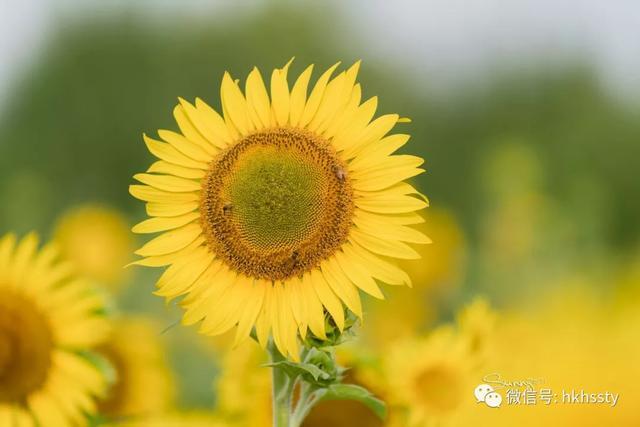 上海一大片向日葵花海正在盛开,等你来看花海