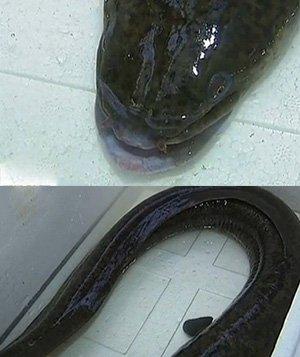 花鳗鱼照片_花鳗鲡图片_裕安图片网