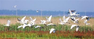 天津北大港湿地再迎候鸟