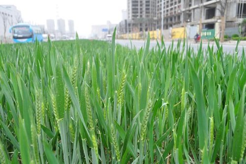 绿化带上的麦子