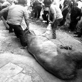 汉中两只野生羚牛下山袭击村民 造成2死2伤